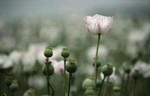 A close-up view of opium poppy flowers